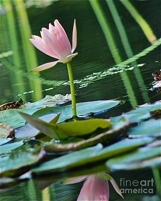 Photograph - Waterlily Whimsy by IK Hadinger