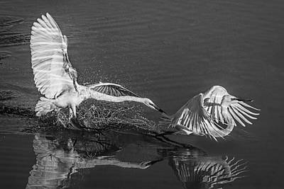 Photograph - Waterskiing Egret Style D2805 by Wes and Dotty Weber