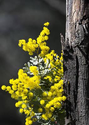 Photograph - Wattle - Australia by Steven Ralser