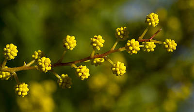 Photograph - Wattle Buds - Australia by Steven Ralser