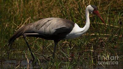 Photograph - Wattled Crane by Mareko Marciniak