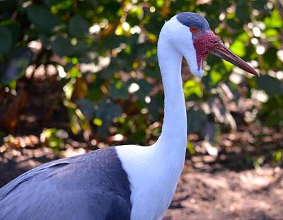 Photograph - Wattled Crane  by Richard Bryce and Family