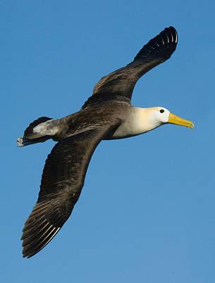 Waved Albatross Diomedea Irrorata Art Print