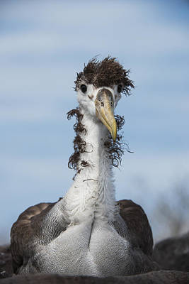 Albatross Photograph - Waved Albatross Molting Juvenile by Pete Oxford