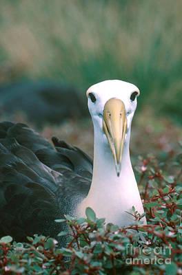 Waved Albatross Phoebastria Irrorata Art Print by Art Wolfe