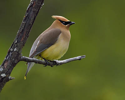 Cedar Waxwing Photograph - Wax On by Tony Beck