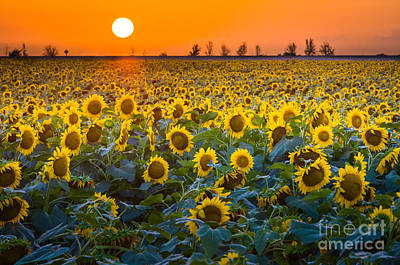 Sunflowers Royalty-Free and Rights-Managed Images - Waxahachie Sunflowers by Inge Johnsson