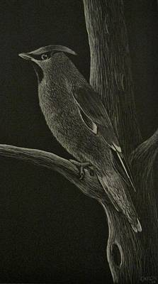 Scratchboard Drawing - Waxwing by Catlin Perry