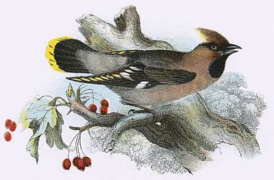 Waxwing Painting - Waxwing by English School