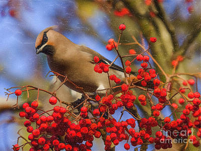 Berry Digital Art - Waxwing On Rowans by Liz Leyden