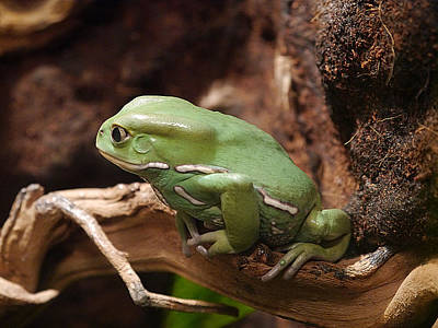Photograph - Waxy Monkey Frog by Richard Reeve