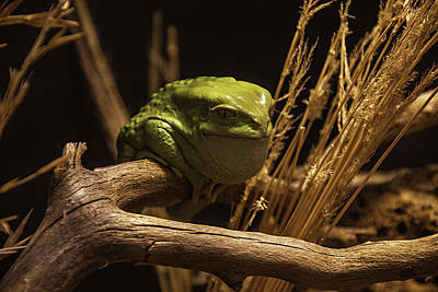 Waxy Monkey Tree Frog Art Print by Garry Gay