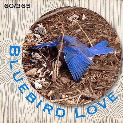 Birds Wall Art - Photograph - We Love Our #bluebirds And Today When I by Teresa Mucha