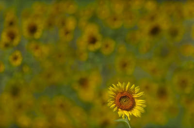 Sunflowers Photograph - We Worship The Sun by Susan Candelario