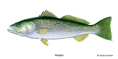 Trout Painting - Weakfish by Charles Harden
