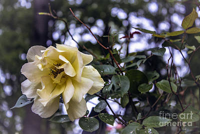 Photograph - Weeping Pale Yellow Rose  by Ginette Callaway