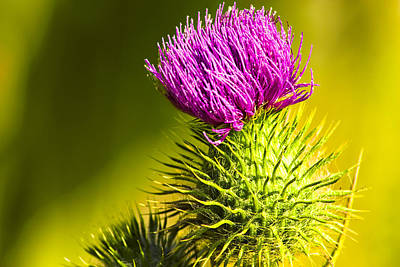 Wearing A Purple Crown - Bull Thistle Art Print by Mark E Tisdale