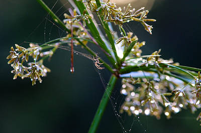 Photograph - Web After The Rain by Adria Trail