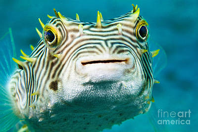 Puffer Fish Photograph - Web Burrfish by David Fleetham