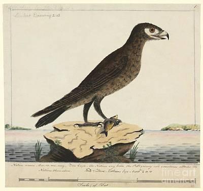 Wedge-tailed Eagle, 18th Century Art Print