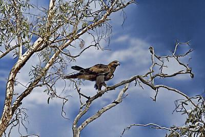 Wedge Tailed Eagle Art Print
