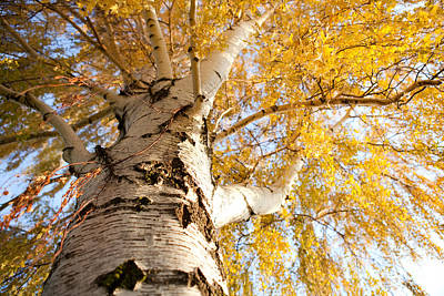 Photograph - Weeping Birch In Autumn by Cindy Singleton