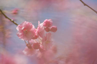 Photograph - Weeping Cherry Blossoms by Natalie Rotman Cote
