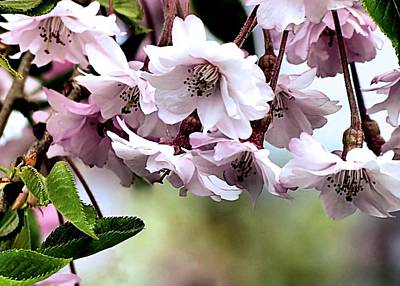 Photograph - Weeping Cherry Tree Blossoms by Janice Drew