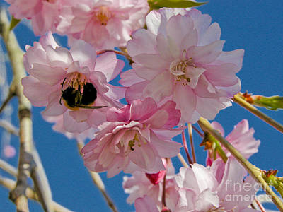 Photograph - Weeping Cherry Tree Blossoms by Tom Brickhouse