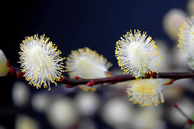 Photograph - Weeping Pussy Willow by Patrick Boening
