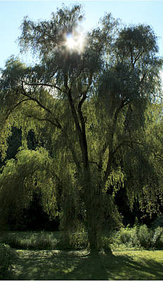 Photograph - Weeping Willow by Barbara Giordano