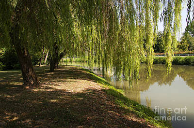 Photograph - Weeping Willow by Brenda Kean