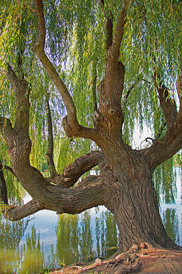 Photograph - Weeping Willow by Kathleen Scanlan