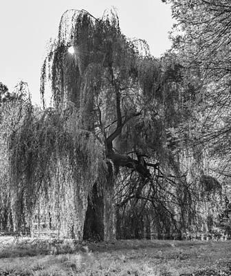 Weeping Willow Art Print by Thomas Schreiter