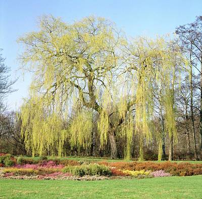 Weeping Willow Tree Art Print by Anthony Cooper/science Photo Library