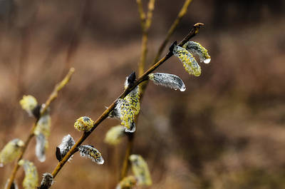 Pussy Willow Blooms Photograph - Weeping Willows by Susan Capuano