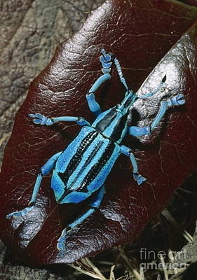Photograph - Weevil by Daniel Heuclin