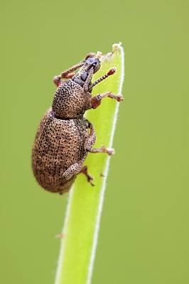 Raspberry Photograph - Weevil by Heath Mcdonald