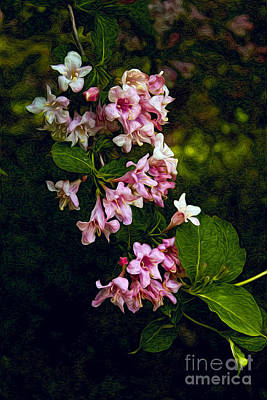 Photograph - Weigela by Lena Auxier