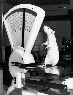 Healthcare And Medicine Photograph - Weight Watcher Lab Rat by Underwood Archives