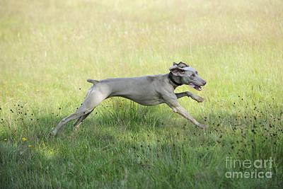 Weimaraner Photograph - Weimaraner Dog Running by John Daniels
