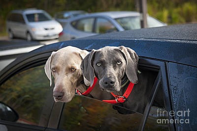 Weimaraner Dogs In Car Art Print by Elena Elisseeva