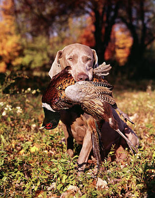 Pheasant Photograph - Weimaraner Hunting Dog Retrieving Ring by Vintage Images