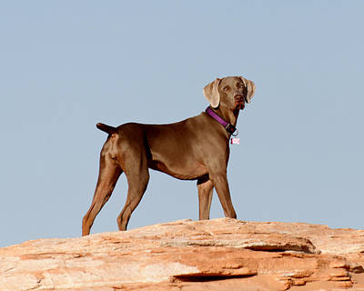 Photograph - Weimaraner IIi - Lake Powell by Julie Niemela