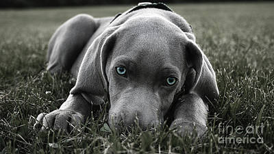Puppies Mixed Media - Weimaraner  by Marvin Blaine