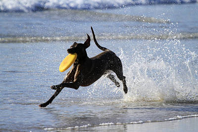 Photograph - Weimaraner With A Frisbee by Noel Elliot