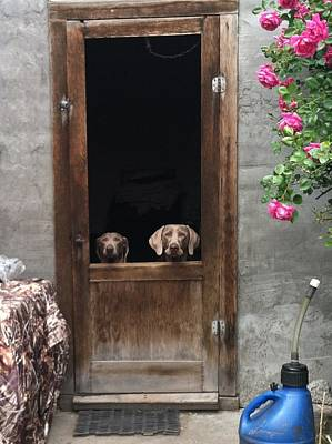 Dog At Door Photograph - Weimeraners Waiting... by Rebecca Martinez