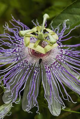Weird And Wonderful Passion Flower Wildflower Art Print by Kathy Clark