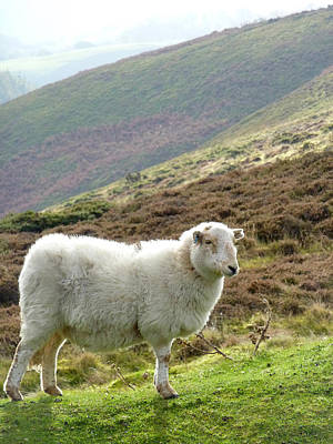 Photograph - Welsh Mountain Sheep by Gill Billington