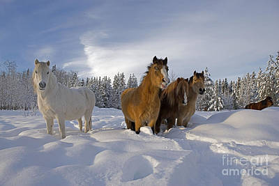 Photograph - Welsh Ponies In Deep Snow by Rolf Kopfle